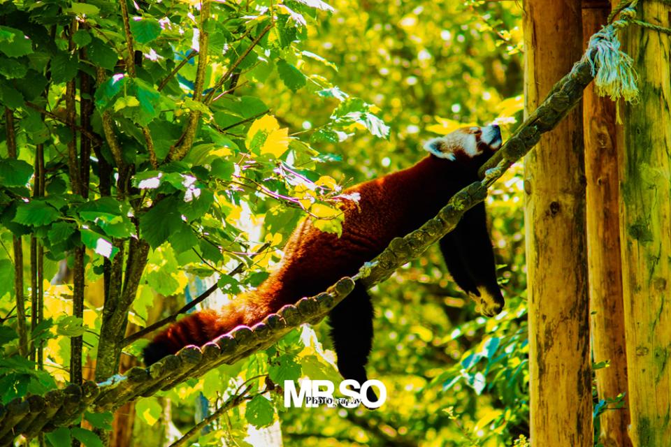 La sieste du panda roux