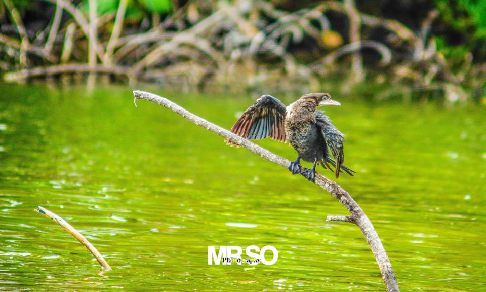 Les oiseaux du Sri Lanka par mrso.fr photographe animalier, voyage et paysage à Orléans, 45, Loiret et Centre Val de Loire