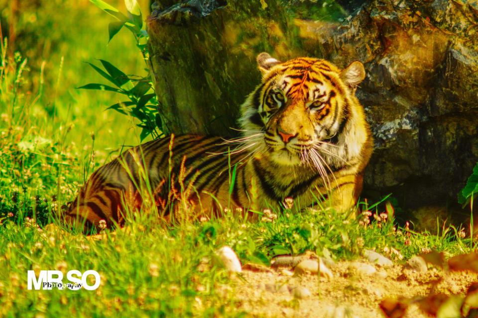 Portrait du tigle